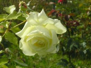 Роза Бьянка