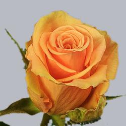 Роза Цинамон