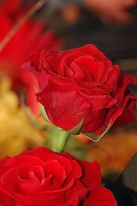 Роза Эль Торо