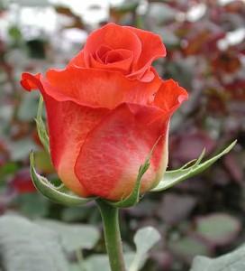 Роза Эстела