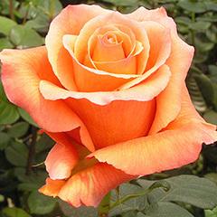 Роза Оранж Юник