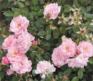 Роза Морена