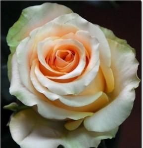 Роза Нектарин