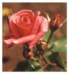 Роза Пикабо