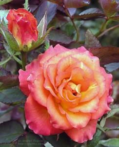 Роза Липстик