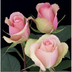 Роза Аэробик