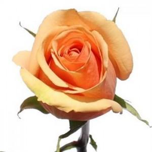 Роза Азафран