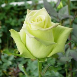Сорт розы Джаде