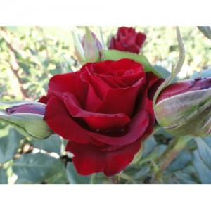 Роза Биг Лорд