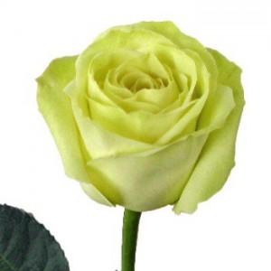 Роза Грин Тиа