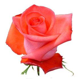 сорт розы Импульс