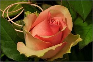 Роза Ла Белль