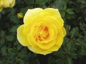 Роза Allgold
