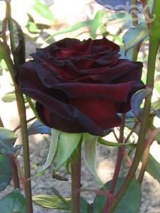Роза Чёрная баккара