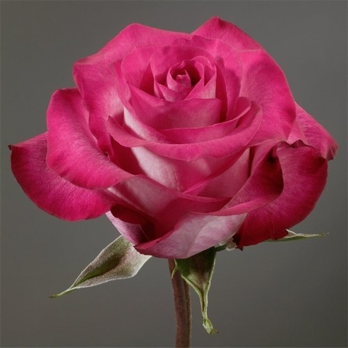ривьера фото роза