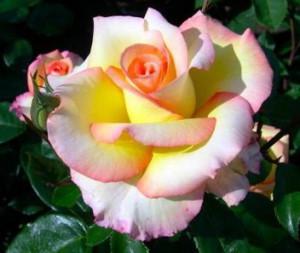 Роза Солитаире