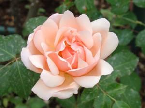Роза Albertine