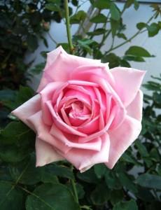 Роза La France
