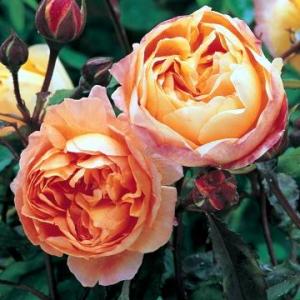 роза Леди Гамильтон
