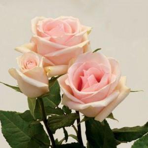Роза Фенице