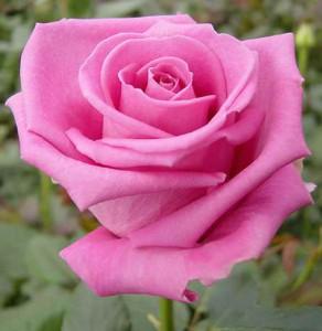 Роза Аква (Aqua)