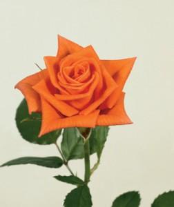 Роза Ламбада