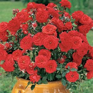 Роза Baby Baccara