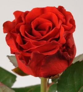 популярный сорт роз в России - Эль торо